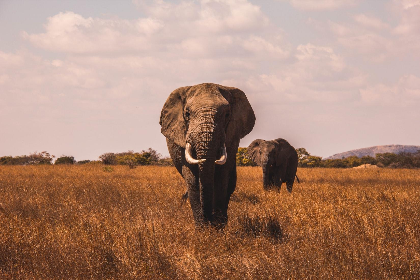 two elephants walking across plain