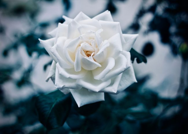 An image of a single, beautiful, white rose. Illustrating the peace you can find in true forgiveness of others.