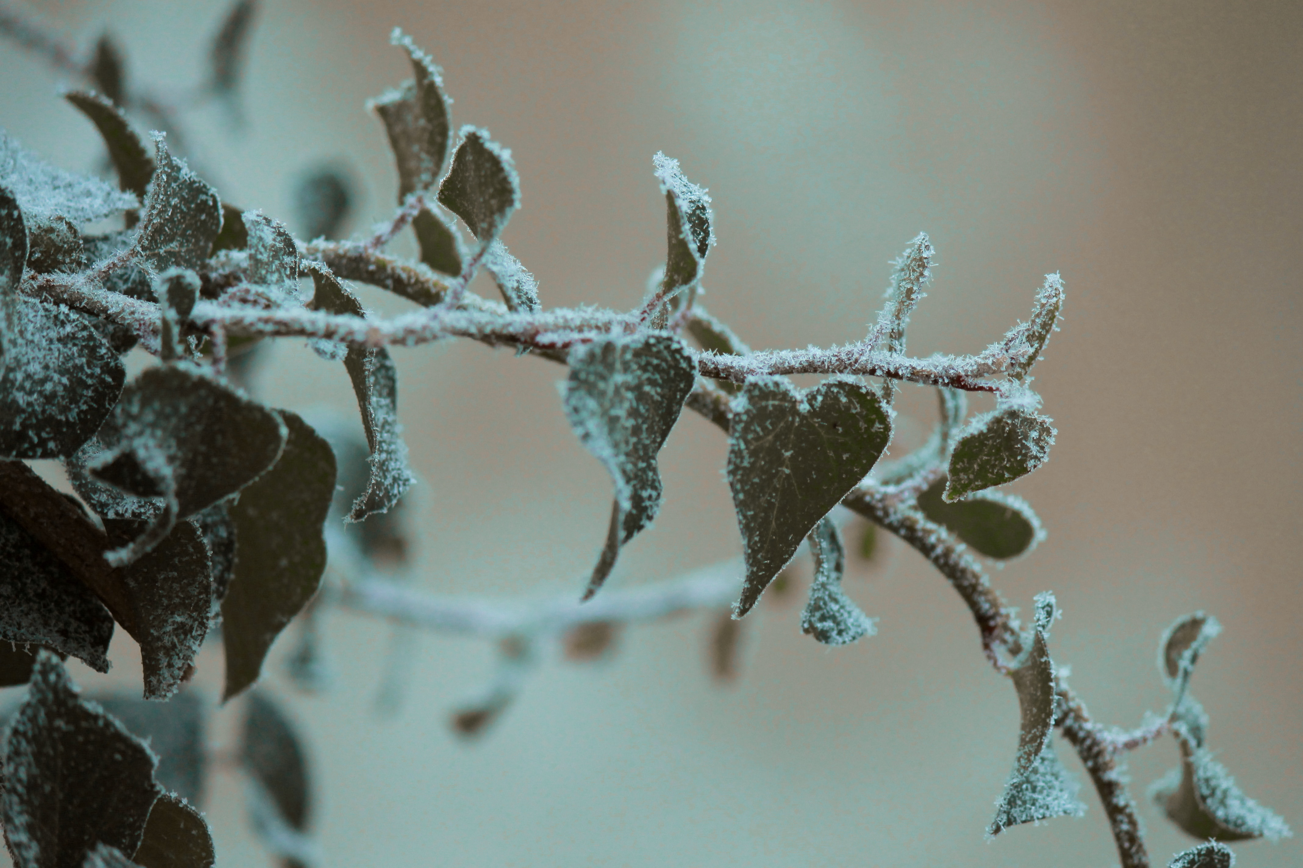 A frosty branch covered in green leaves is seen in close up.