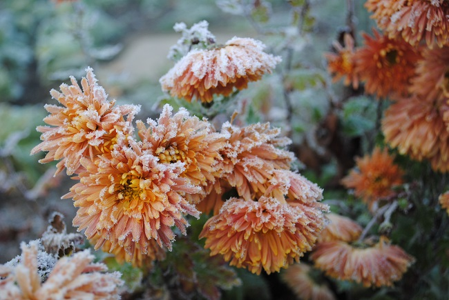 Orange flowers droop under the weight of early morning frost. Recovery from grief can seem overwhelming, but with God you can do it!